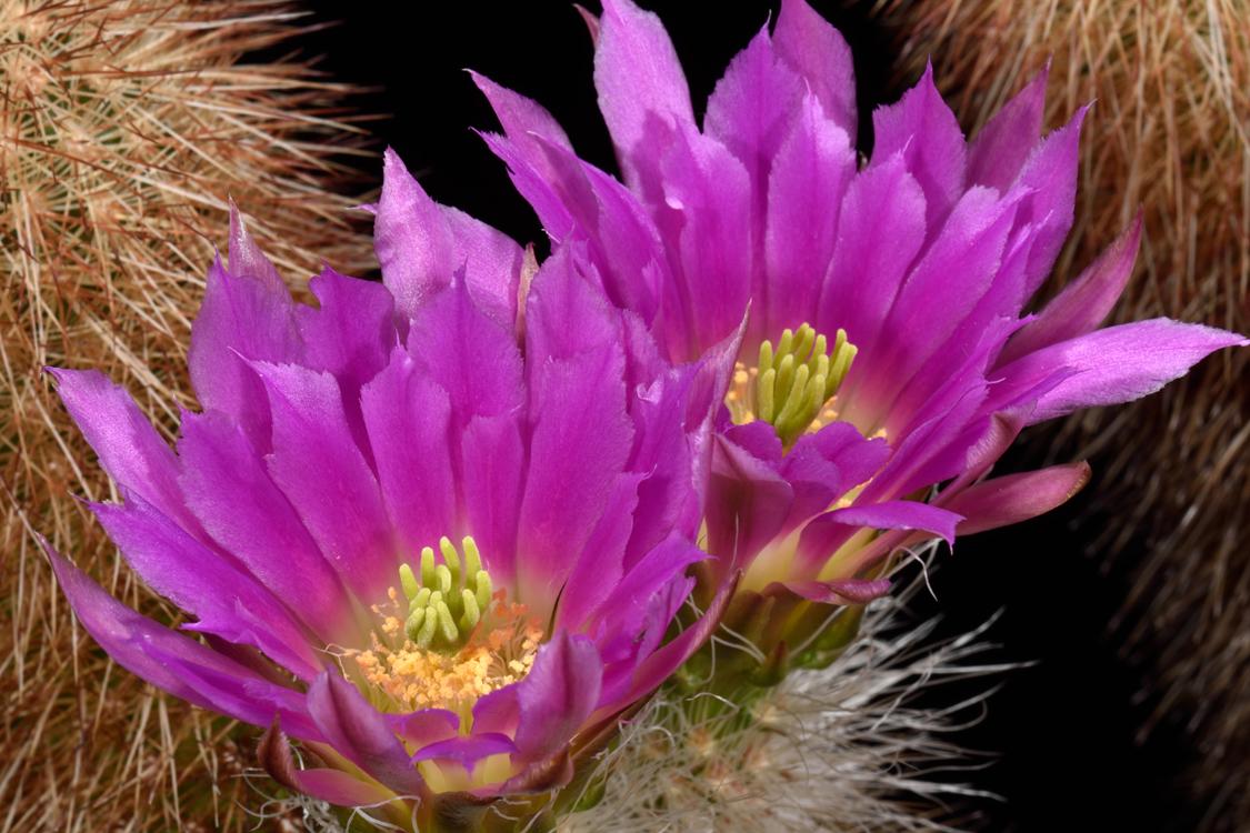 Echinocereus freudenbergeri, Mexico, Coahuila, Sierra Paila, LAU1032