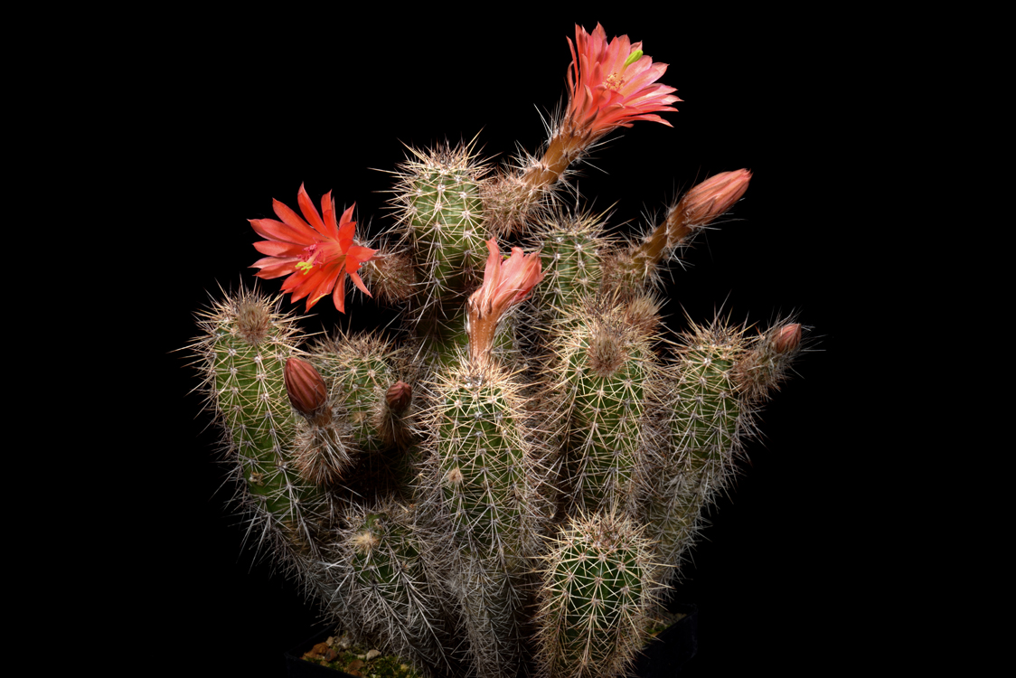 Echinocereus sanpedroensis, Mexico, Sonora