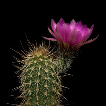 Echinocereus engelmannii subsp. fasciculatus, USA, Arizona, Maricopa County (Video)