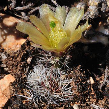Echinocereus davisii, USA, Texas, Brewster County