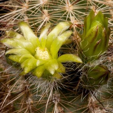 Zeitraffer Echinocereus milleri, USA, Texas, Coke County (Video)