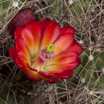 Zeitraffer Echinocereus mojavensis, USA, Arizona, Coconino County (Video)