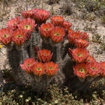 Online Vortrag - Echinocereus dasyacanthus und xlloydii im Pecos County, Texas (Video)