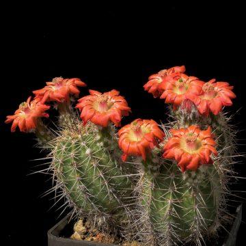 Echinocereus polyacanthus, Mexico, Chihuahua, Basaseachic (Video)