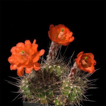 Echinocereus topiensis, Mexico, El Durazno (Video)