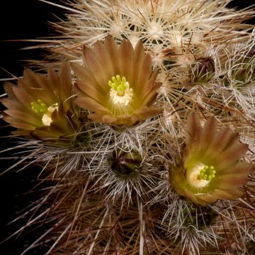 Zeitraffer Echinocereus chloranthus subsp. rhyolithensis, USA, New Mexico, Sierra County, SB0047 (Video)