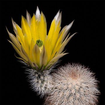 Zeitraffer Echinocereus dasyacanthus, USA, Texas, Pecos County (Video)