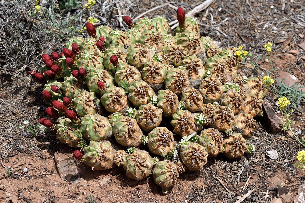 Echinocereus mojavensis fa. inermis - das Leben kommt nach einem starken Feuer zurück