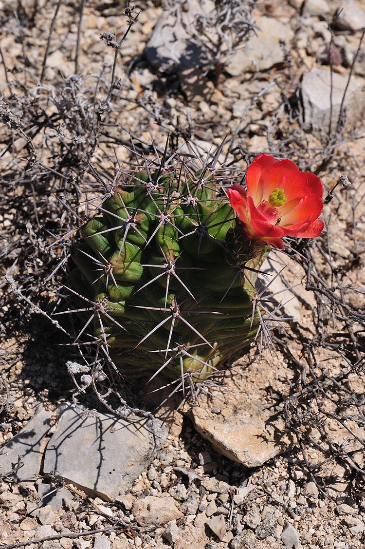 Echinocereus coccineus subsp. paucispinus, USA, Texas, Terrell Co.