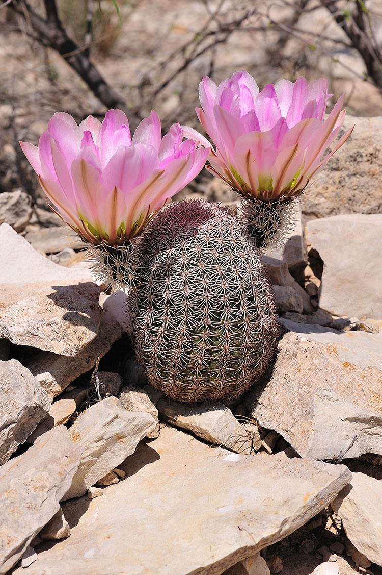 Echinocereus pectinatus subsp. wenigeri, USA, Texas, Terrell Co.