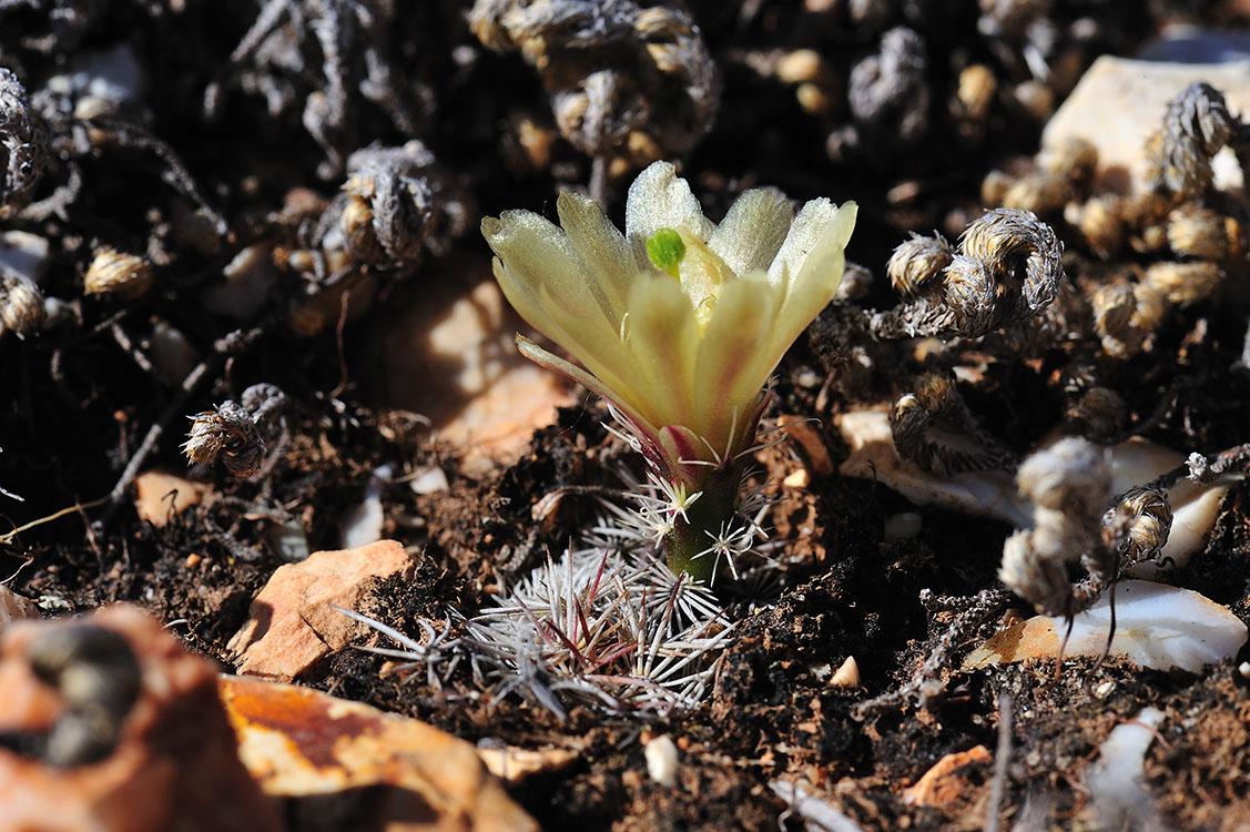 Echinocereus davisii, USA, Texas, Brewster Co.