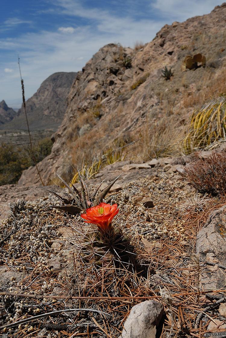 Echinocereus coccineus, USA, Texas, Brewster Co.