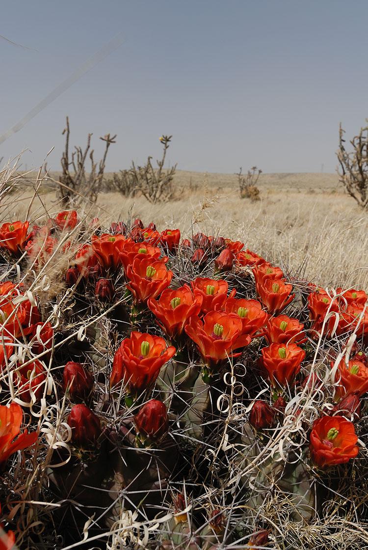 Echinocereus coccineus, USA, New Mexico, Chaves Co.