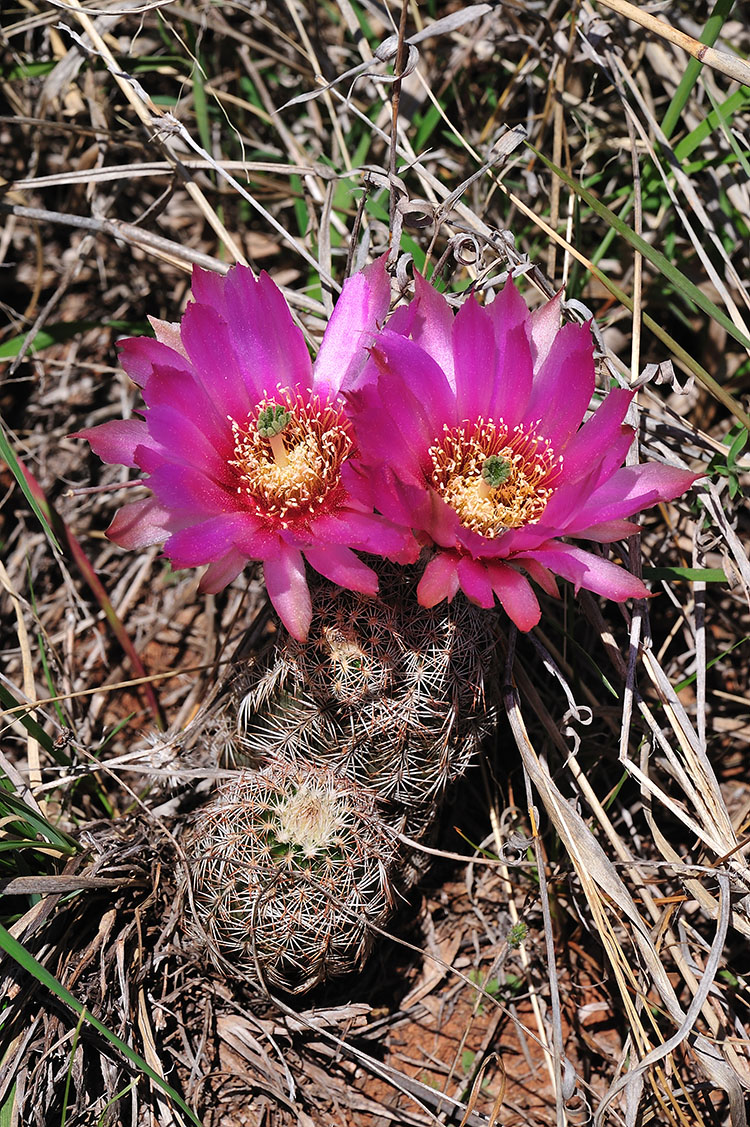 Echinocereus reichenbachii subsp. perbellus, USA, Texas, Runnel Co.