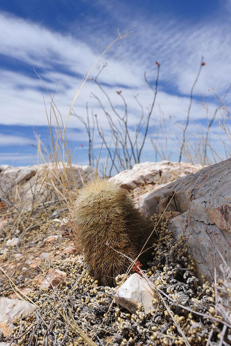 Echinocereus dasyacanthus, USA, Texas, Presidio Co.