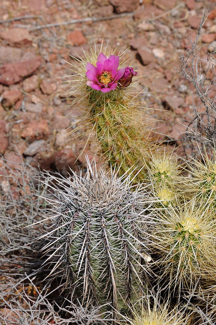Echinocereus nicholii, USA, Arizona, Pima Co.