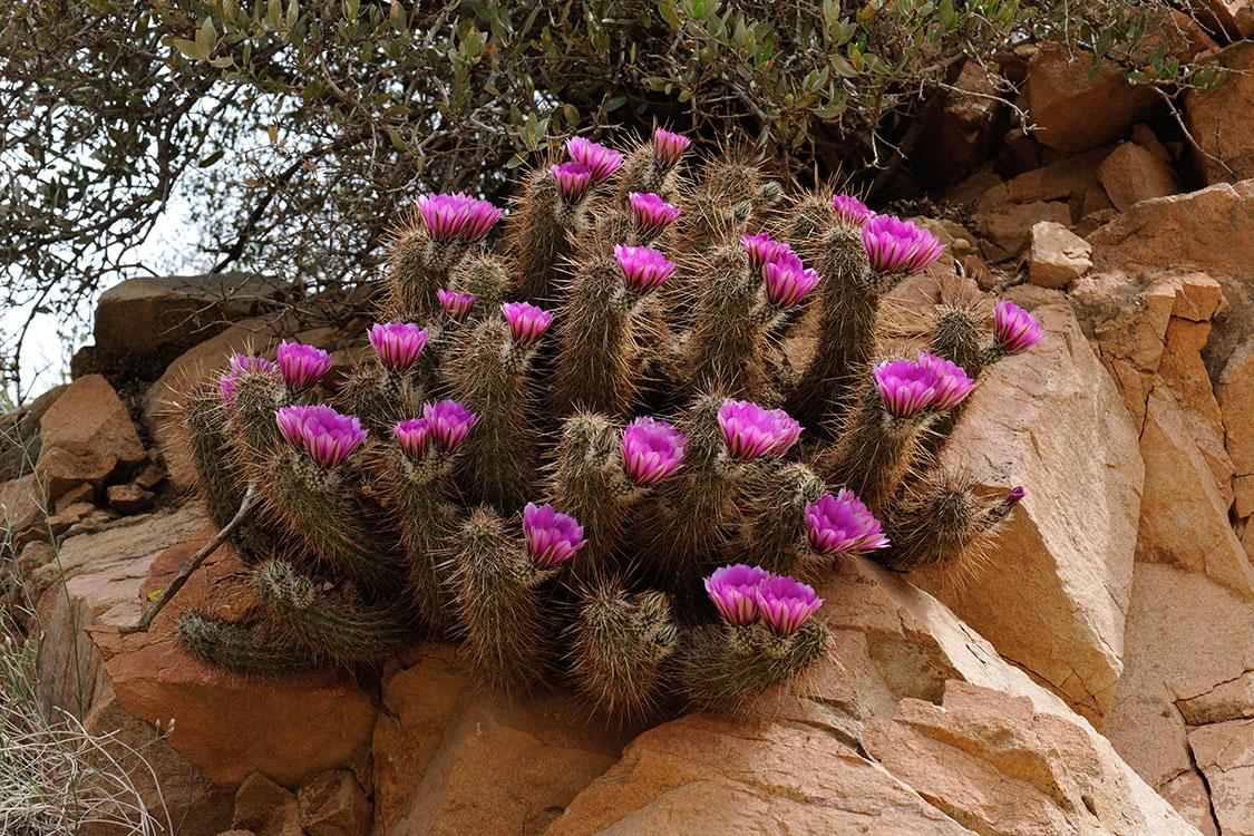 Echinocereus engelmannii subsp. fasciculatus, USA, Arizona, Maricopa Co.