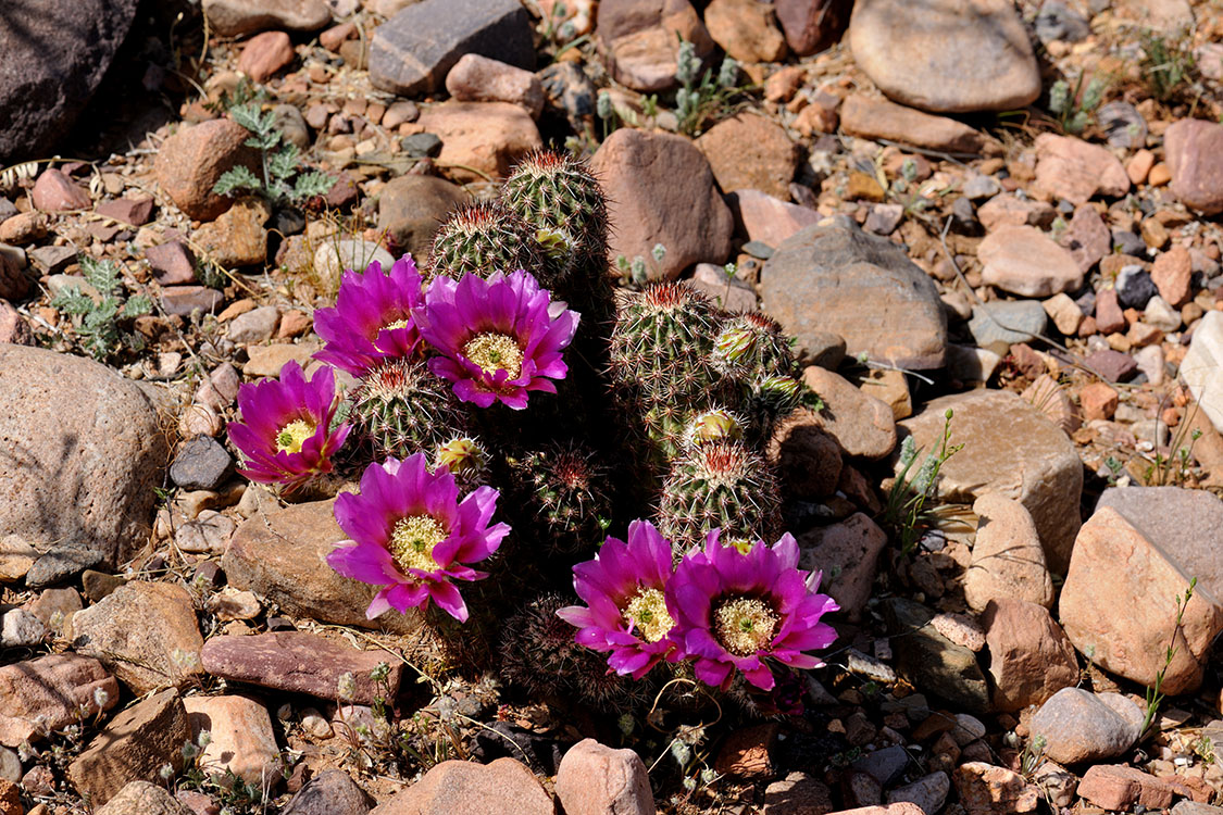 Echinocereus bonkerae, USA, Arizona, Gila Co.