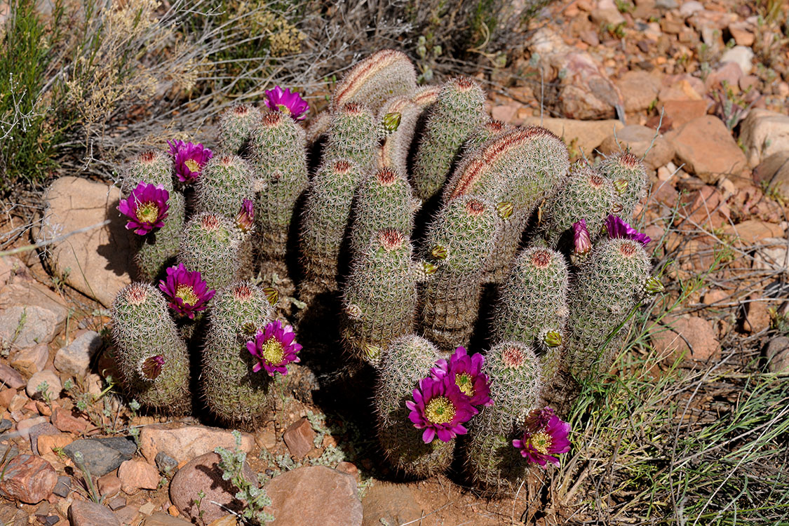 Echinocereus bonkerae, USA, Arizona, Gila Co.