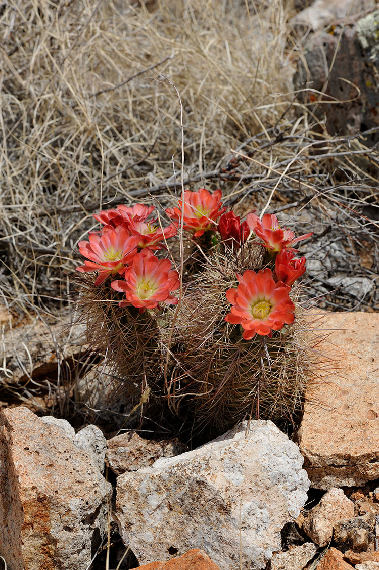 Echinocereus xroetteri, USA, New Mexico, Otero Co.