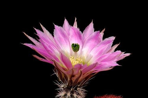 Echinocereus pectinatus, Mexico, Durango, Rio Nazas