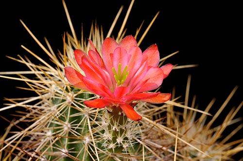 Echinocereus engelmannii x mombergerianus, Mexico, Baja California, Naturhybride