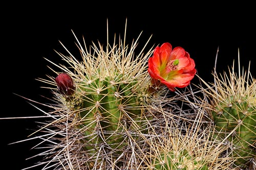 Echinocereus bakeri, USA, Arizona, Prescott