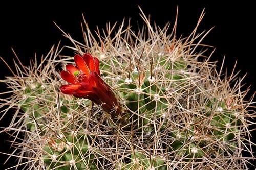 Echinocereus mojavensis, USA, Arizona, Canyon de Chelly