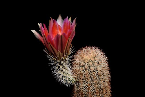 Echinocereus dasyacanthus, USA, Texas, Pecos Co., Bakersfield