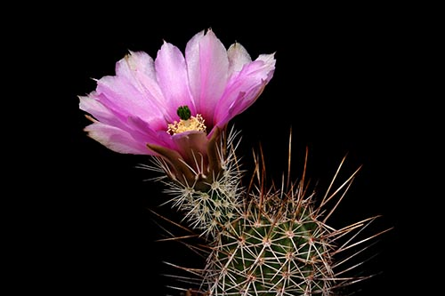Echinocereus fendleri, USA, Arizona, Straße 83