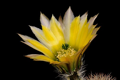 Echinocereus dasyacanthus, USA, Texas, Brewster Co., La Linda