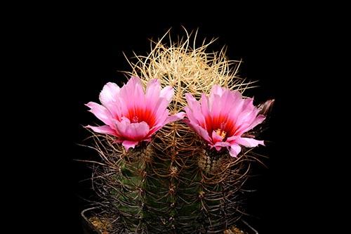 Echinocereus lindsayi, Mexcio, Baja California