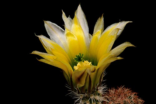 Echinocereus dasyacanthus, USA, Texas, Brewster Co., Castolon - Sta. Elena