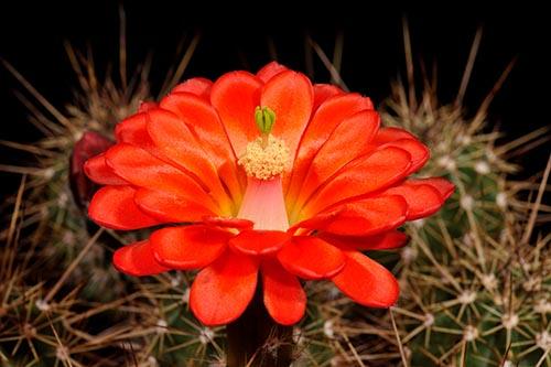 Echinocereus salm-dyckianus, Mexico, Chihuahua, Creel - Divisadero
