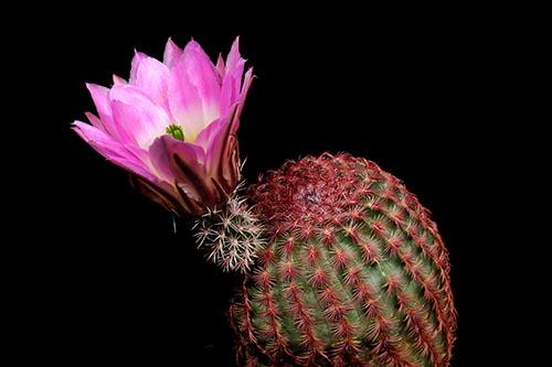 Echinocereus pectinatus, Mexico, Chihuahua, Hidalgo del Parral - Rodeo