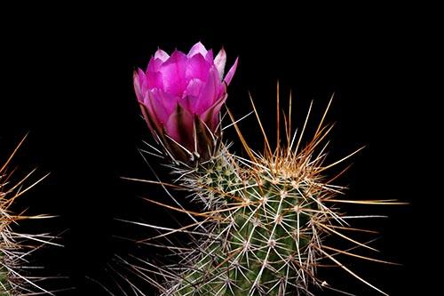 Echinocereus engelmannii subsp. fasciculatus, USA, Arizona, Apache Trail