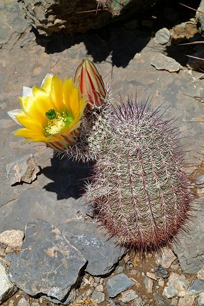 Echinocereus in Habitat - Echinocereus dasyacanthus subsp. rectispinus, Mexico, Chihuaha, Alamos de Pena