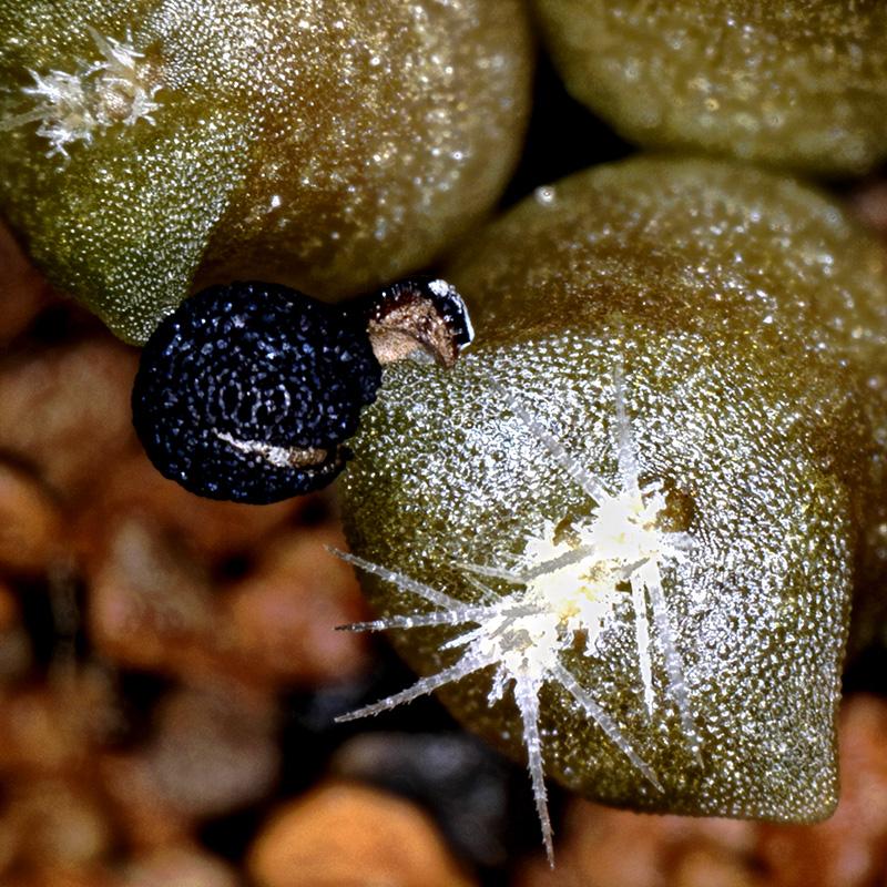 Ein Sämling Echinocereus mojavensis im Alter von einer Woche
