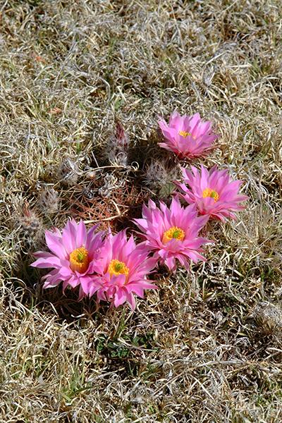Echinocereus in Habitat - Echinocereus weinbergii, Mexico, Zacatecas, El Arenal