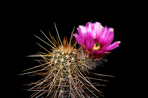 Echinocereus engelmannii, USA, Arizona, Tom Mix Wash