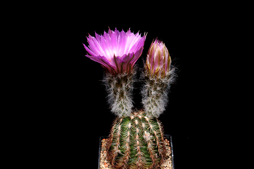 Echinocereus reichenbachii subsp. perbellus, USA, Texas, Runnel Co., Ft. Chadbourne