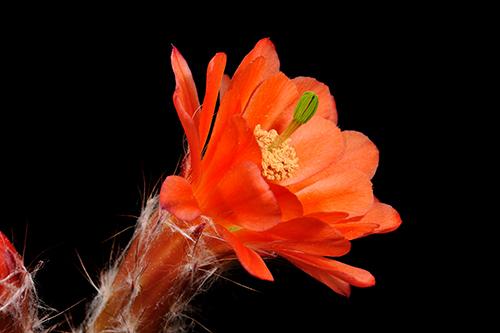 Echinocereus huitcholensis, Mexico, Durango, Durango - Mazatlan, Km 210