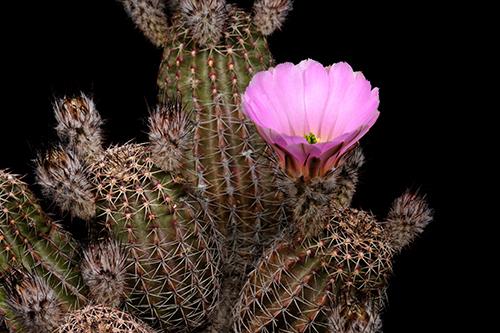 Echinocereus pamanesiorum, Mexico, Zacatecas, San Juan Capistrano
