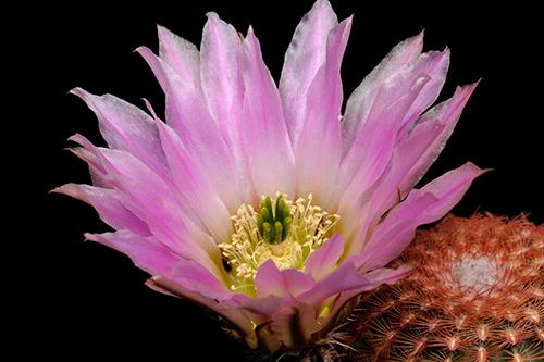 Echinocereus pectinatus, Mexico, San Luis Potosi, Charco Blanco, CSD89