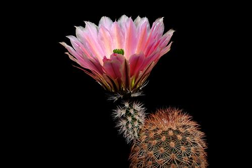 Echinocereus dasyacanthus, USA, Texas, Pecos Co., SB0732
