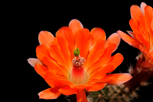 Echinocereus salm-dyckianus, Mexico, Sonora, Zollstation