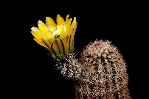 Echinocereus dasyacanthus, Mexico, Chihuahua, El Sancho