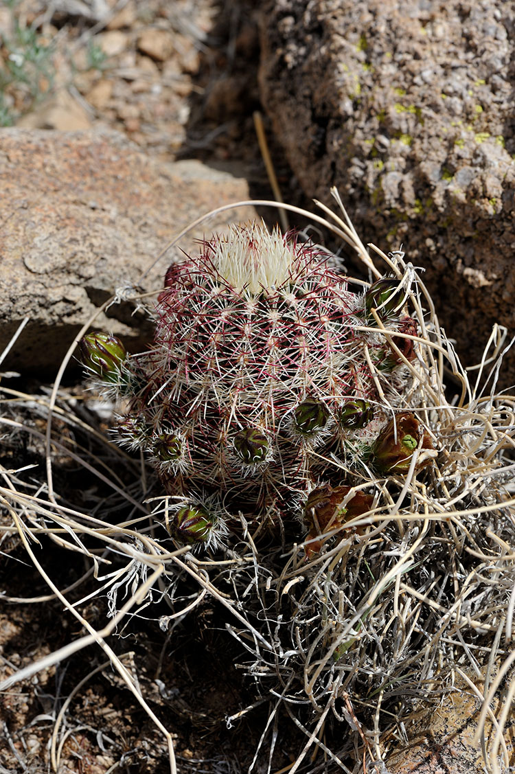 Echinocereus chloranthus, USA, New Mexico, Dona Ana Co.