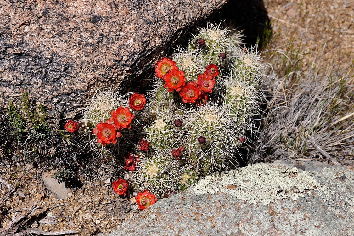 Echinocereus yavapaiensis, USA, Arizona, Yavapai Co.