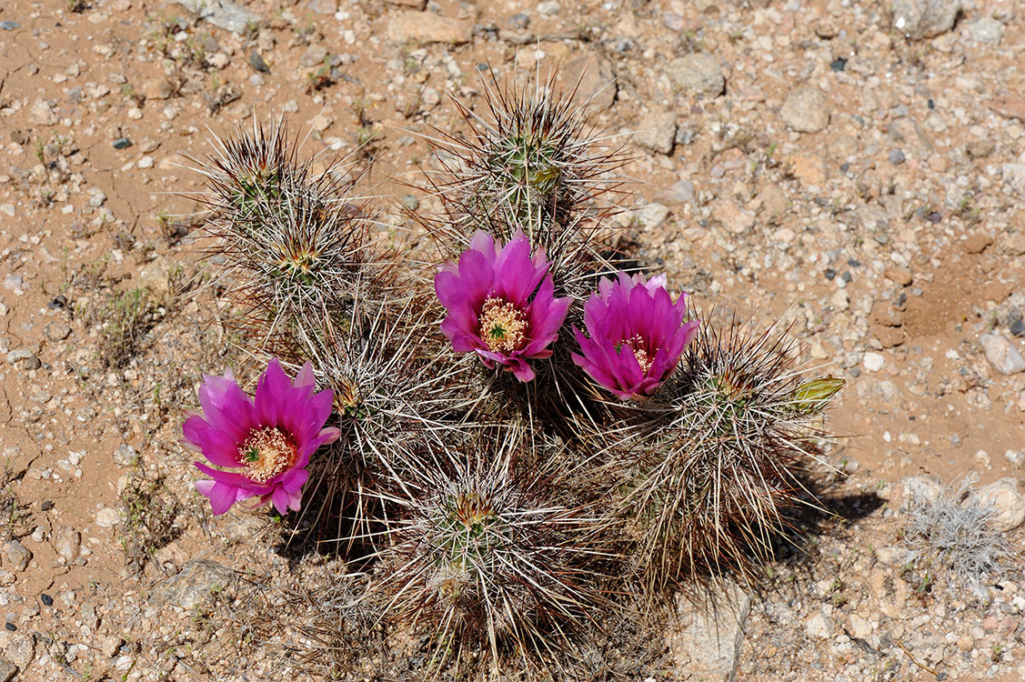 Echinocereus engelmannii, USA, Arizona, Yavapai Co.